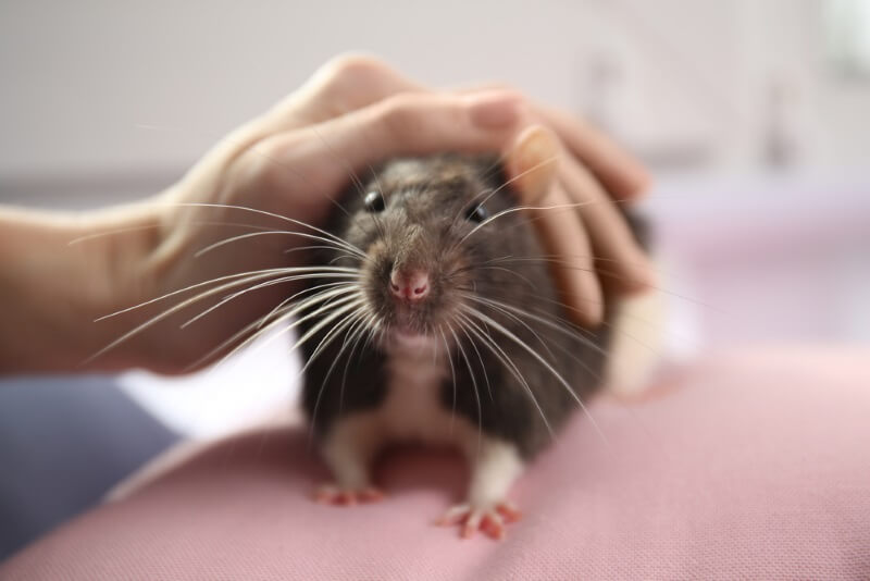 Rats love to be handled by their owners