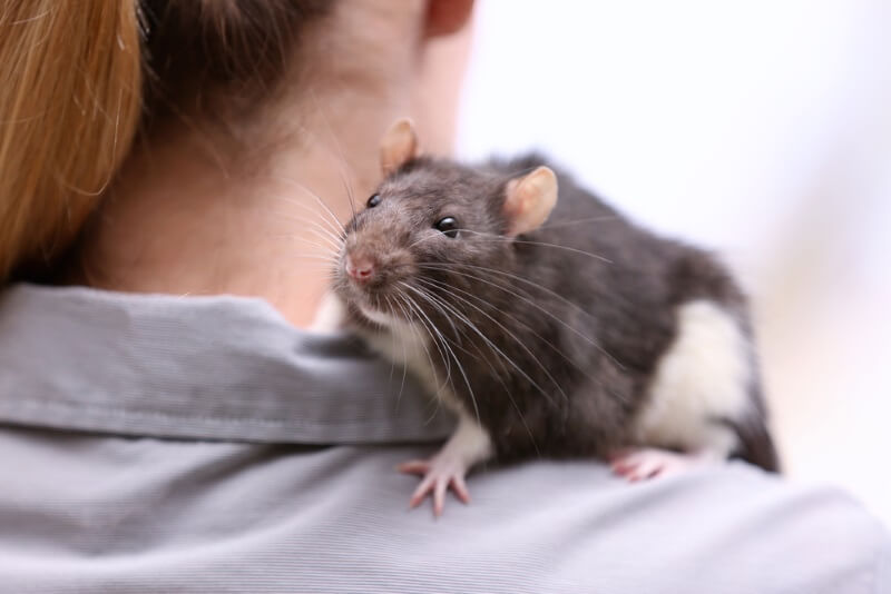 Are rats good pets