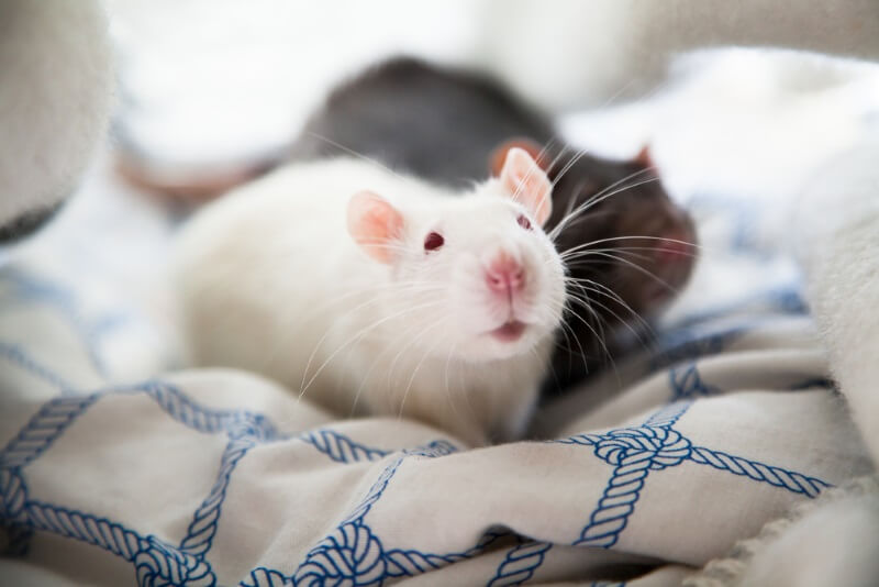 Rats want to play when you do