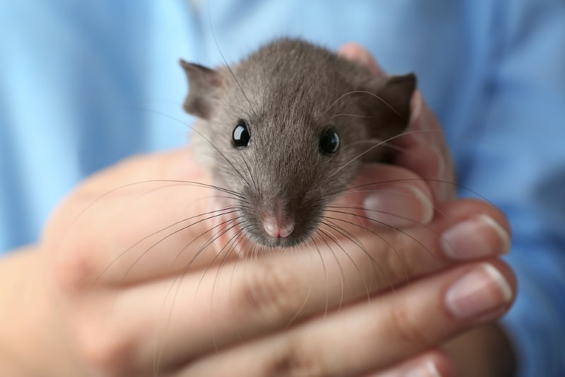 Pet Rat Supplies: Everything Rats Need to Be Happy & Healthy