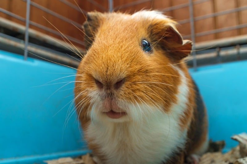 Guinea Pig Cage Types