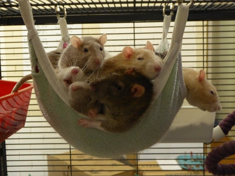 Pet rats or mice - the differences
