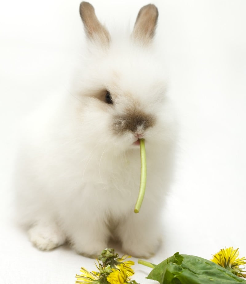 Dandelion as a rabbit treat