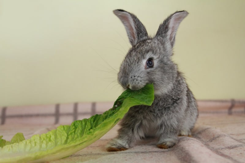 Rabbit enjoying their veggie treats