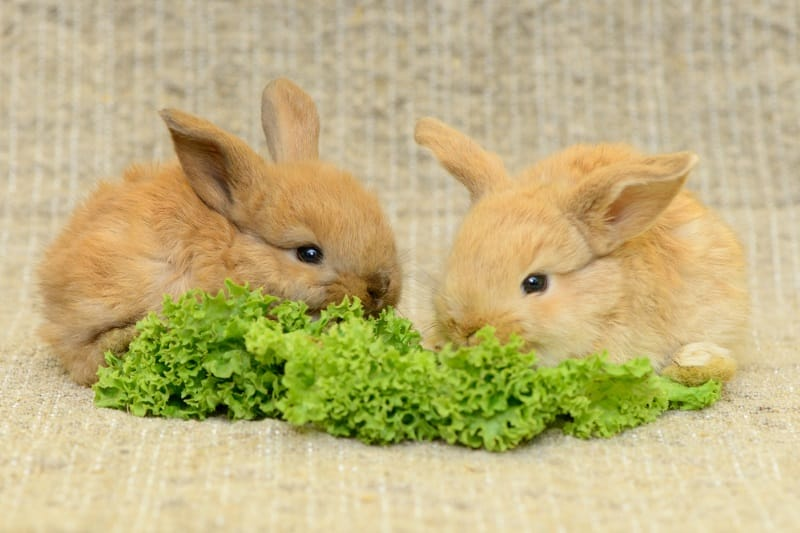 Rabbits should have access to veggies at all times