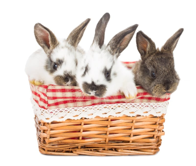 Rabbits playing in a basket