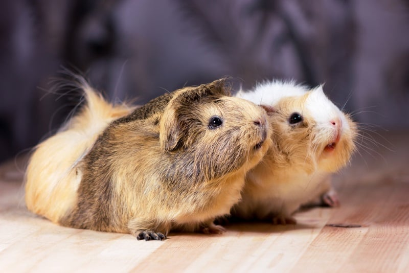 Games to play with guinea pigs