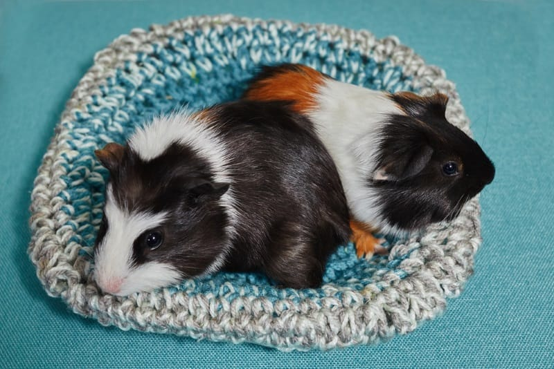 Guinea pigs playing