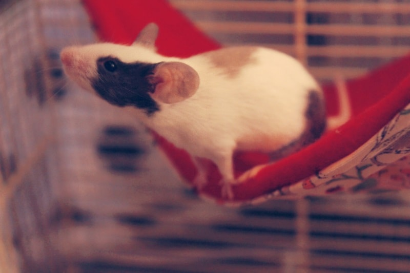 Best Cages for Pet Mice: Cage Requirements & Cages Worth a