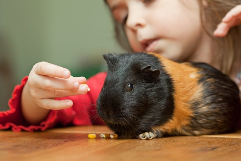 Bonding with guinea pigs