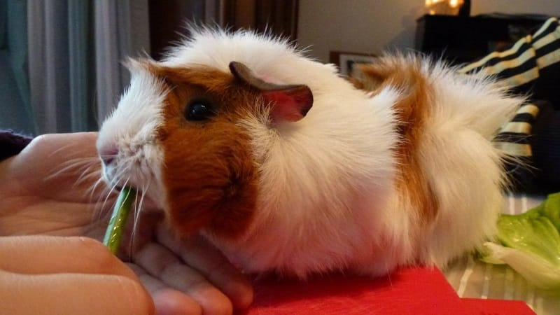 Bonding with Guinea Pigs: 9 Bonding Tips & Answers to FAQ