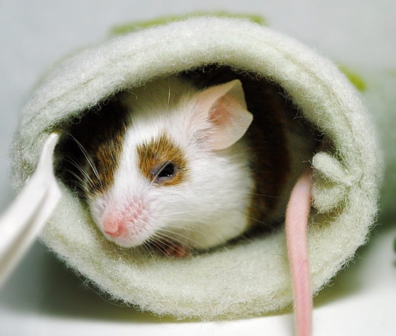 Best toys for pet mice