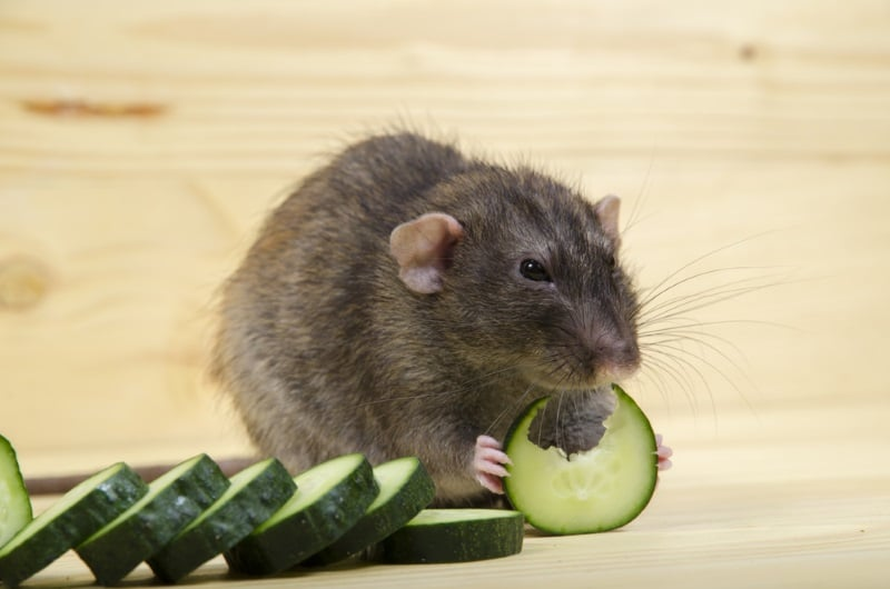 Offer cold and icey treats to pet rats to cool them