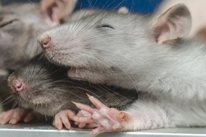 How to Keep Rats Cool in the Summer