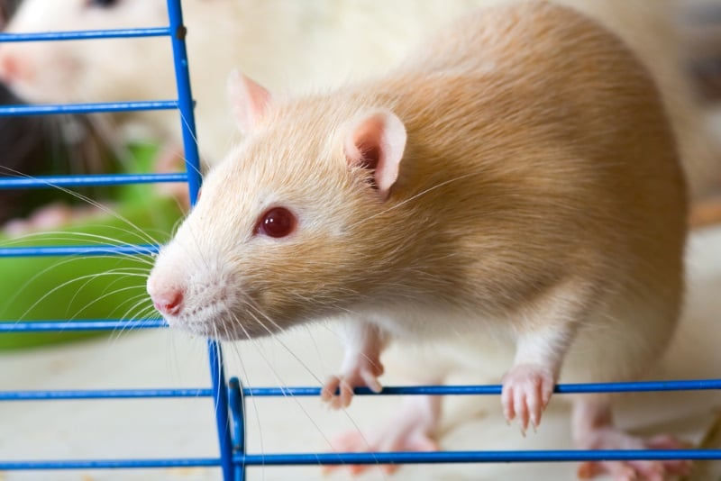 Pet rats will benefit from having cool places to relax