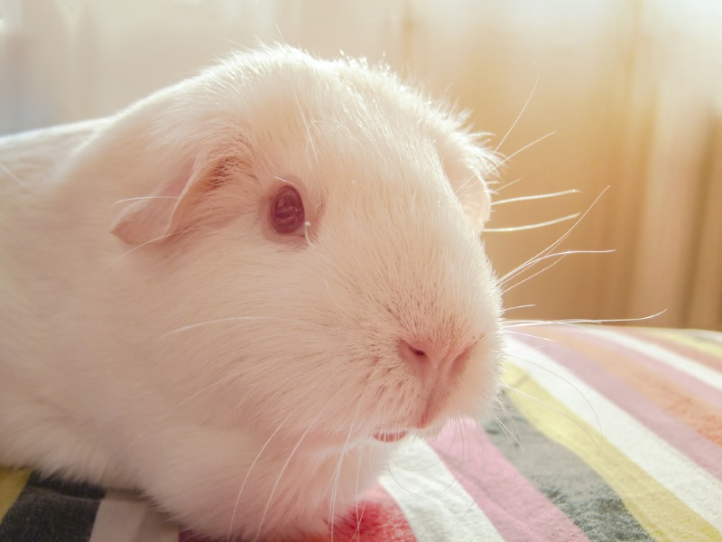 Tips on how to keep guinea pigs cool in the summer