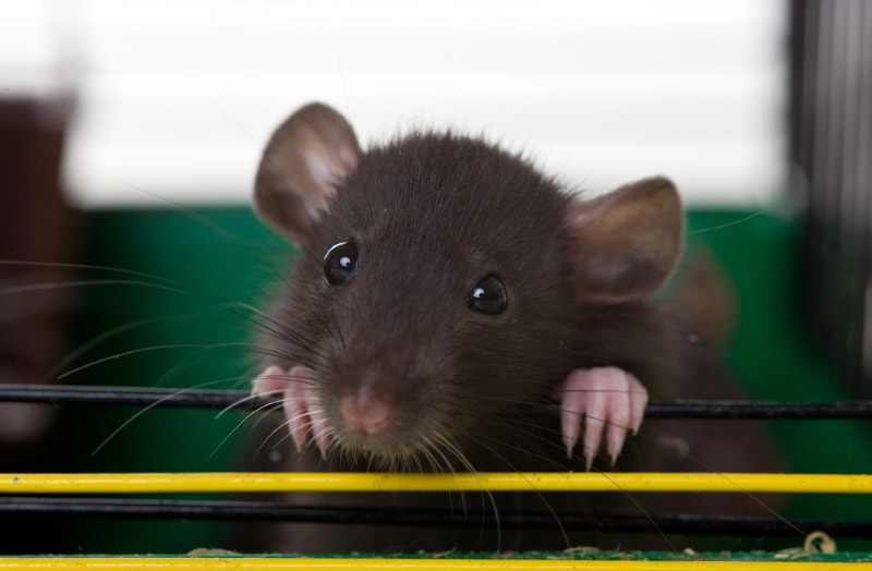 Be mindful of your rats' cage location during summer heat