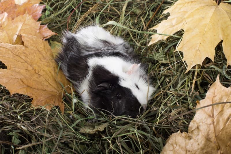 Pros and cons of different types of guinea pig hay