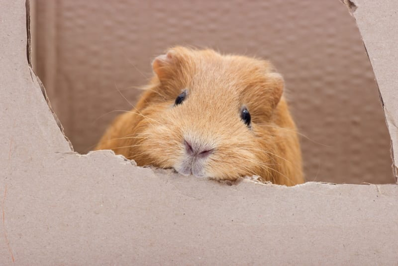 Guinea pig chewing cardboard