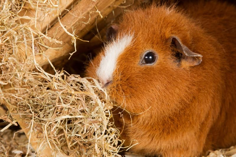 Best hay for guinea pigs