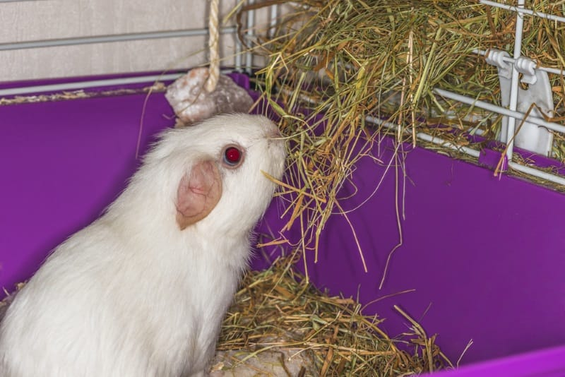 Meadow hay for guinea pigs