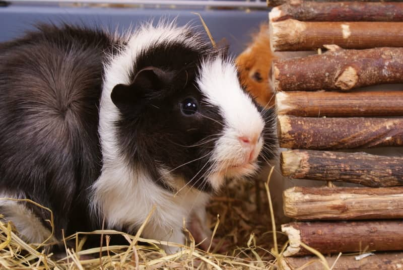 Wooden tunnel for guinea pigs