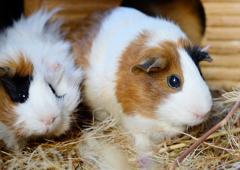 Diiferent types of hay for guinea pigs