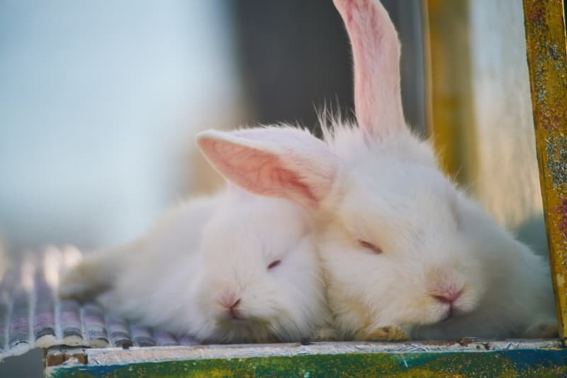 Bonded pet rabbits
