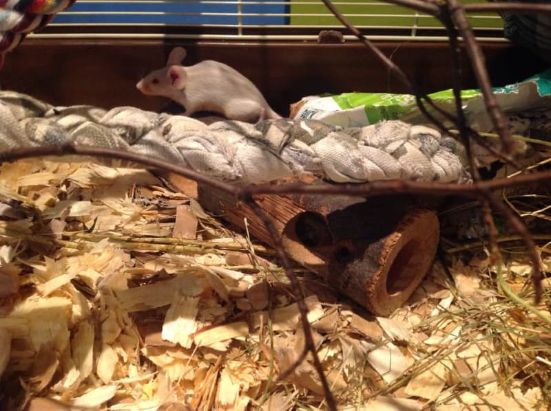 Wood shavings as a bedding for mice