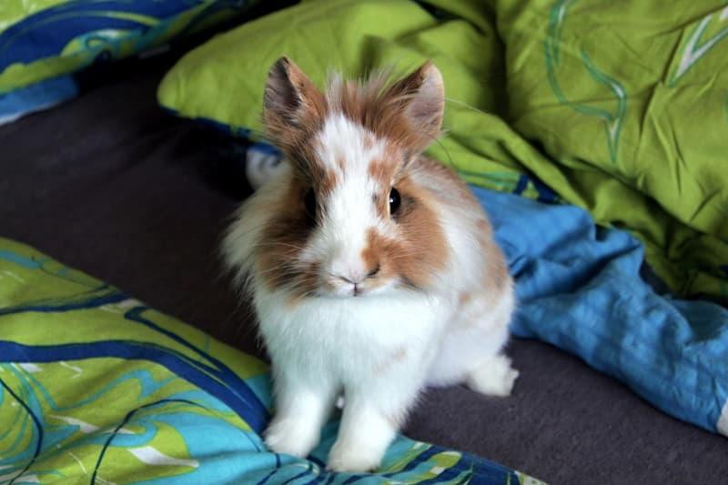 Having a single rabbit as a pet