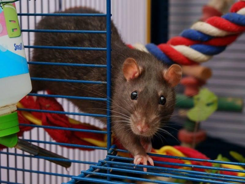A rat doing agility
