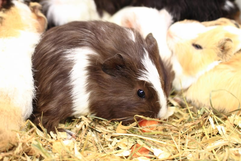 Guinea pig lifespan - How long do guinea pigs live