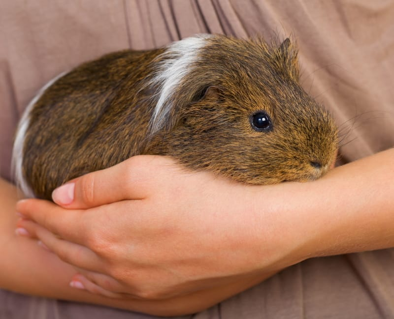 Guinea pigs should be kept in groups or pairs