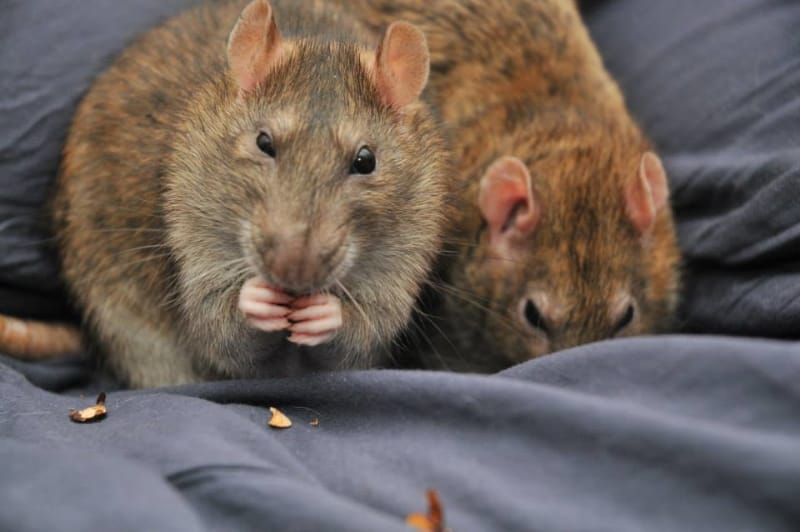 Tips on how to extend pet rat's life