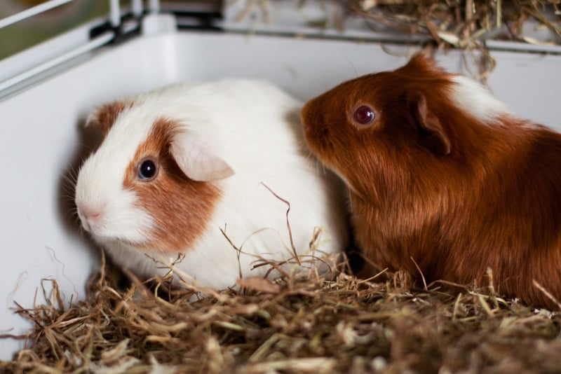 Is your guinea pig scared of you?