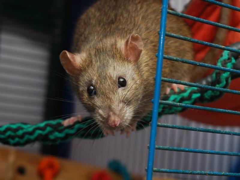 A healthy rat