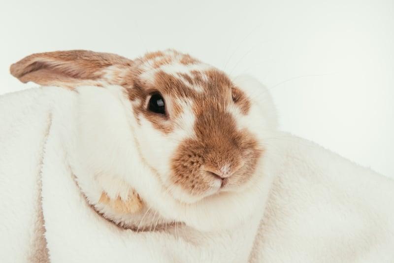 Pet Rabbit Grooming Routine