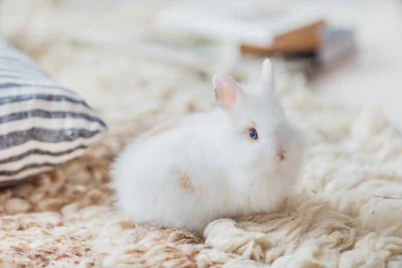 Pet Rabbit Grooming Guide