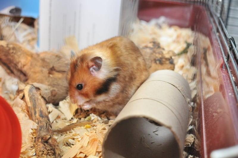 Hamster eating a snack