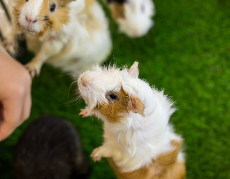 Happy guinea pig sounds
