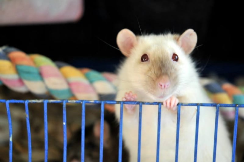Buying pet rats from reputable breeders