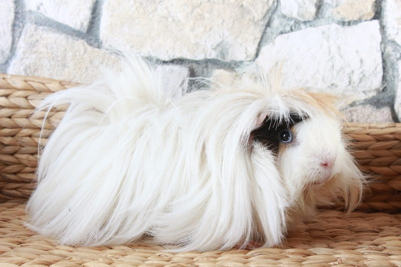 Pros and cons of having guinea pigs