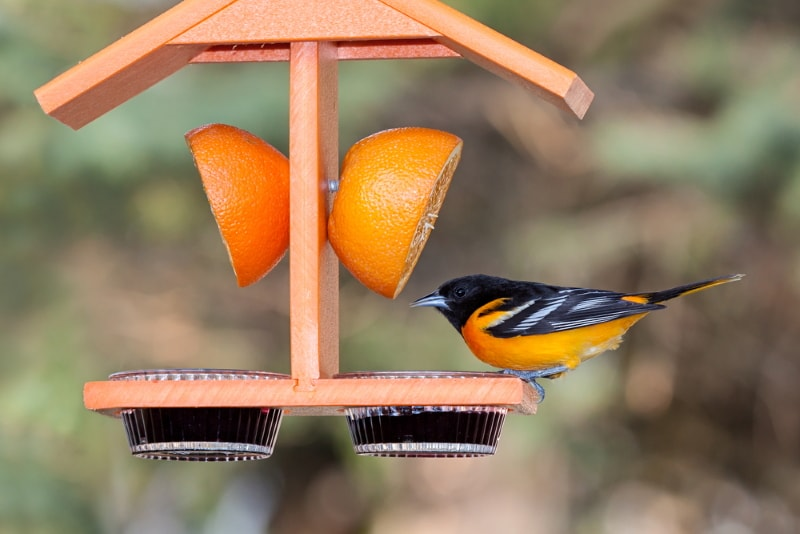 Oriole birds love fruit