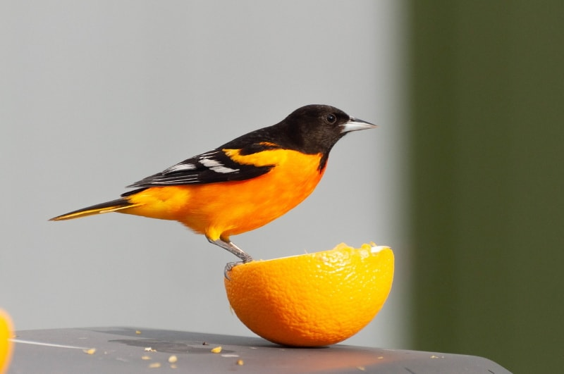 How to attract Oriole birds to your yard