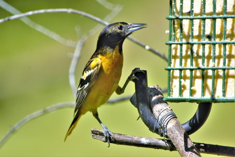 Best feeders for Oriole birds