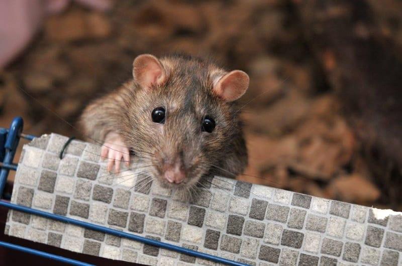 Breeding pet rats