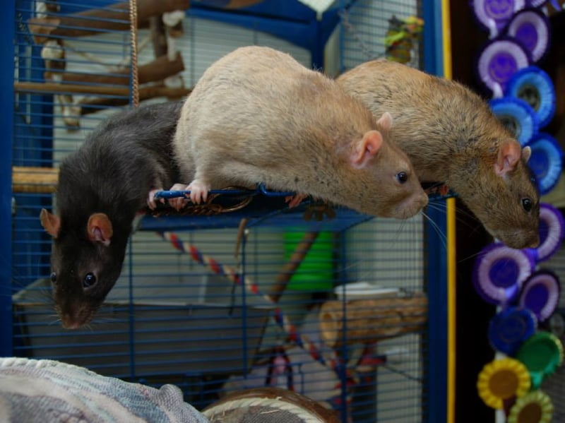 Rats are social animals that need friends  of their own species