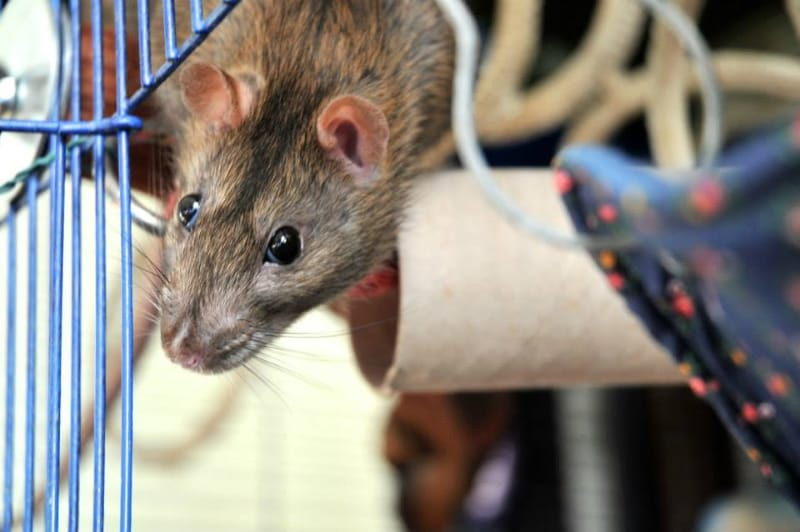 Helping shy and timid rats to relax