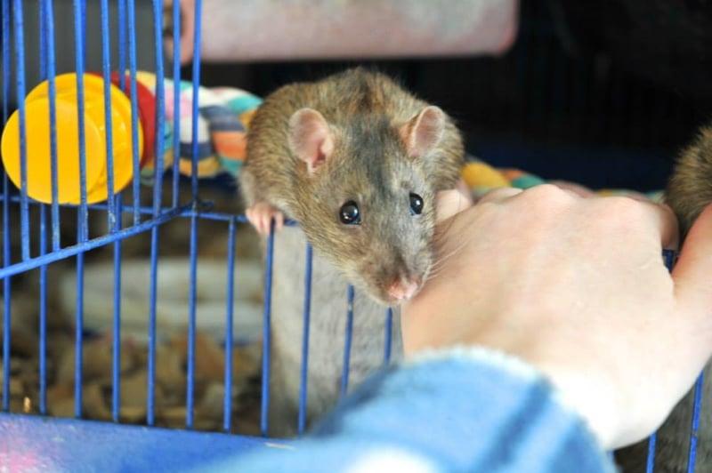 Handling shy rats