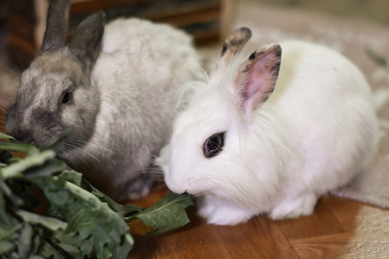 Tips on Introducing Pet Rabbits